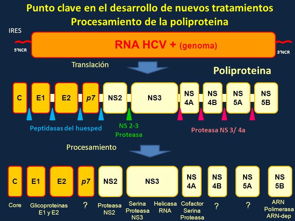 Punto clave en el desarrollo de nuevos tratamientos Procesamiento de la poliproteina 5NCR 3NCR IRES RNA HCV + (genoma) CE1E2p7NS2NS3 NS 4A NS 4B NS 5A