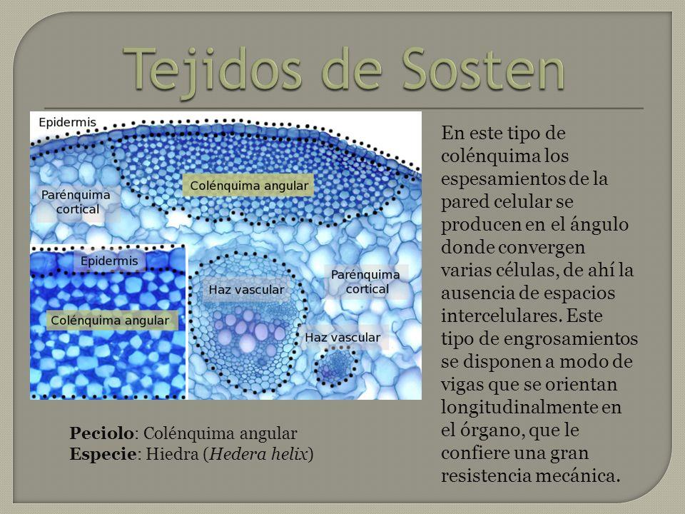 En este tipo de colénquima los espesamientos de la pared celular se producen en el ángulo donde convergen varias células, de ahí la ausencia de espaci
