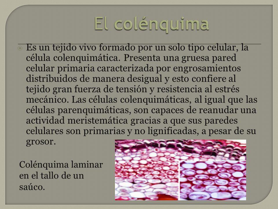 Es un tejido vivo formado por un solo tipo celular, la célula colenquimática. Presenta una gruesa pared celular primaria caracterizada por engrosamien