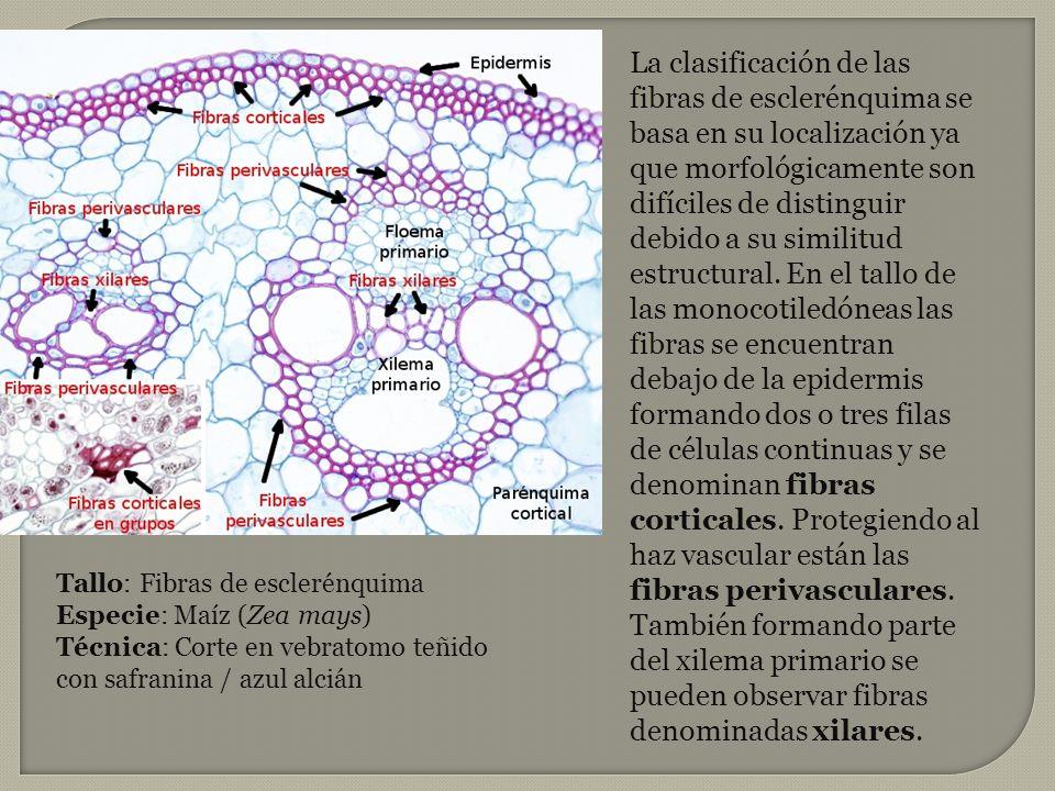 La clasificación de las fibras de esclerénquima se basa en su localización ya que morfológicamente son difíciles de distinguir debido a su similitud e