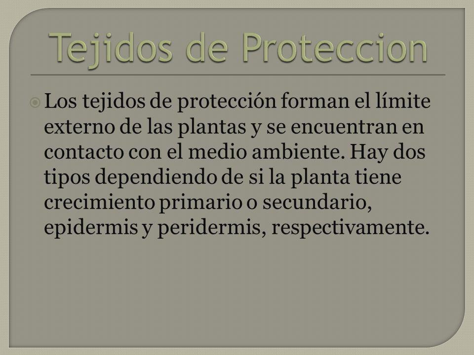 Los tejidos de protección forman el límite externo de las plantas y se encuentran en contacto con el medio ambiente. Hay dos tipos dependiendo de si l