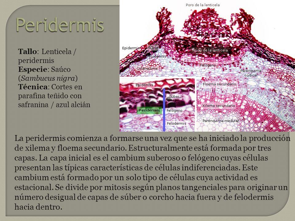 Peridermis La peridermis comienza a formarse una vez que se ha iniciado la producción de xilema y floema secundario. Estructuralmente está formada por