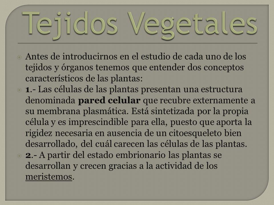 Los meristemos son los responsables del crecimiento permanente de las plantas y están presentes durante toda la vida de éstas.