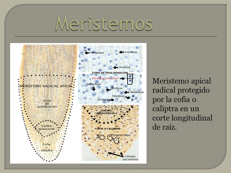 Los meristemos intercalares: Como su nombre indica, se encuentran intercalados entre tejidos no meristemáticos.
