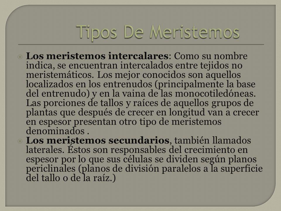 Los meristemos intercalares: Como su nombre indica, se encuentran intercalados entre tejidos no meristemáticos. Los mejor conocidos son aquellos local