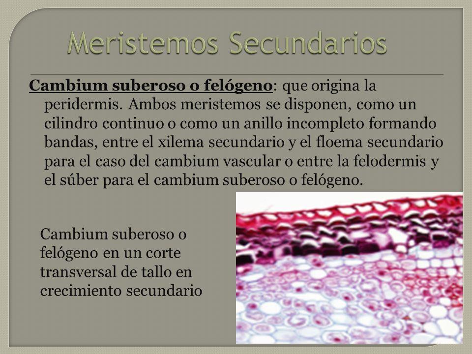 Cambium suberoso o felógenoCambium suberoso o felógeno: que origina la peridermis. Ambos meristemos se disponen, como un cilindro continuo o como un a