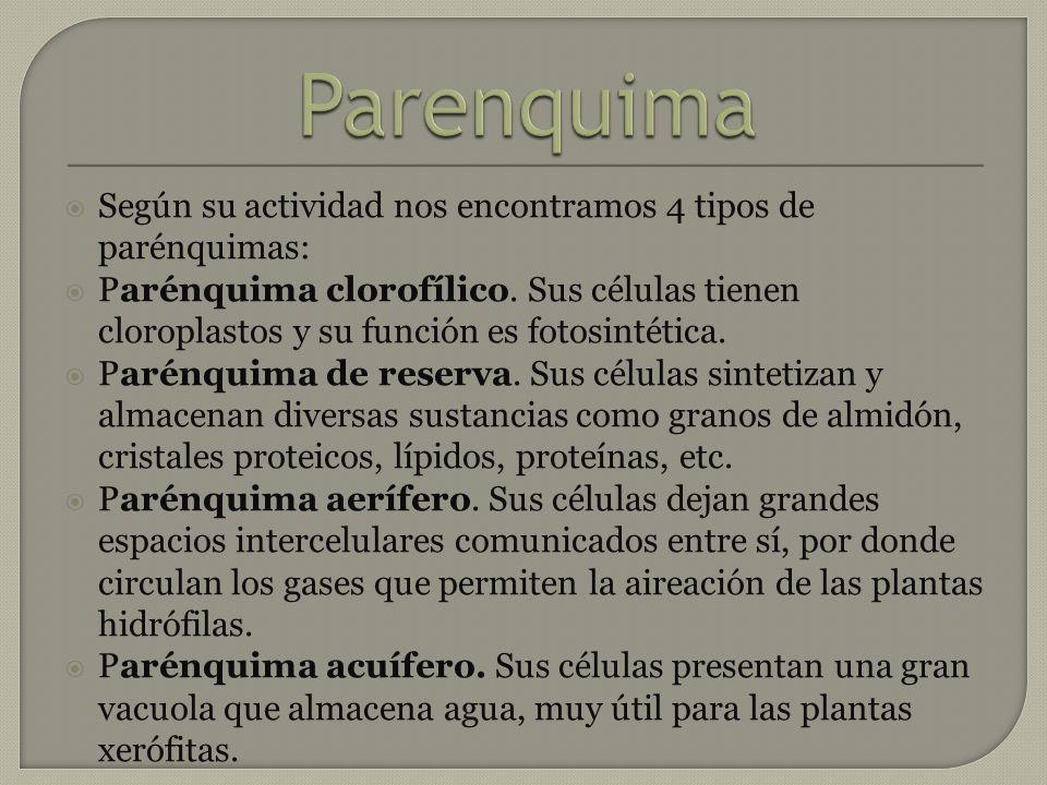 Según su actividad nos encontramos 4 tipos de parénquimas: Parénquima clorofílico. Sus células tienen cloroplastos y su función es fotosintética. Paré