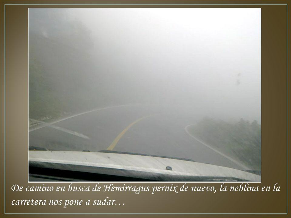 De camino en busca de Hemirragus pernix de nuevo, la neblina en la carretera nos pone a sudar…