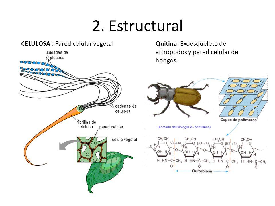 2. Estructural CELULOSA : Pared celular vegetalQuitina: Exoesqueleto de artrópodos y pared celular de hongos.
