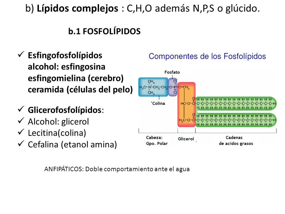 b) Lípidos complejos : C,H,O además N,P,S o glúcido. Esfingofosfolípidos alcohol: esfingosina esfingomielina (cerebro) ceramida (células del pelo) Gli