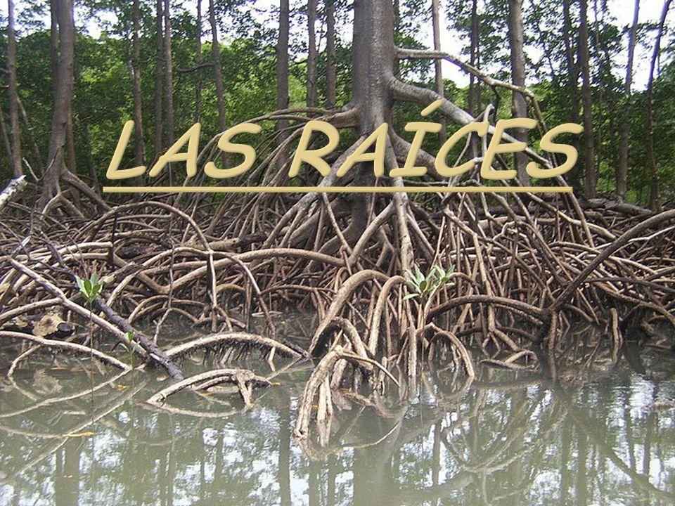 La raíz es el órgano generalmente subterráneo Cuerpo de las cormófitas, que se caracteriza por su crecimiento indefinido, geotropismo positivo y la simetría en general radiada la ausencia de yemas, hojas, nudos y entrenudos y por su especialización como órgano de anclaje absorción de agua y sales minerales disueltas; de acumulación de diversas sustancias orgánicas y en ocasiones excepcionales como unidad de propagación