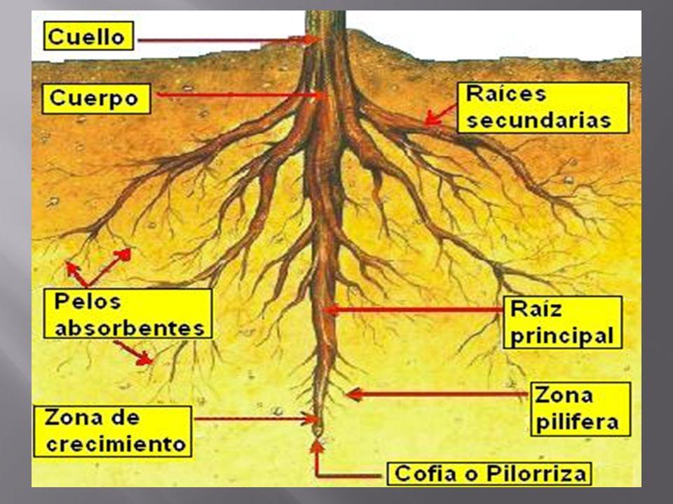 Por un lado, permite el anclaje o fijación de la planta al suelo - el tamaño de las raíces determina también la posibilidad de que una planta pueda tener un mayor o menor desarrollo del vástago aéreo La raíz también permite la absorción del agua y de los nutrientes minerales disueltos en ella desde el suelo y su transporte al resto de la planta las raíces transportan dióxido de carbono para la fotosíntesis, ya que sus hojas usualmente carecen de estomas La raíz, por otro lado, tiene un papel fundamental en la creación y protección del suelo Las raíces de numerosos árboles segregan ácidos orgánicos bastante potentes para disolver piedras calizas y liberar el calcio y otros minerales útiles