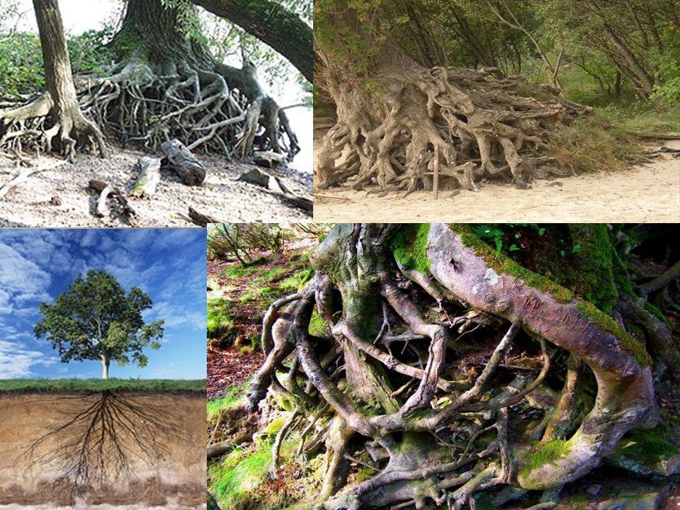 Geotropismo : La gravedad es un estímulo ambiental único, en el sentido de que está presente de manera, es unidireccional y tiene una intensidad constante.