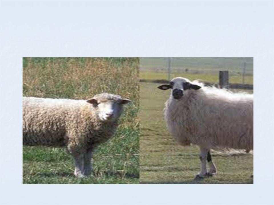 La esquila se realiza una vez por año, y luego se espera que la lana crezca nuevamente durante doce meses, para volver a esquilar en el siguiente verano.