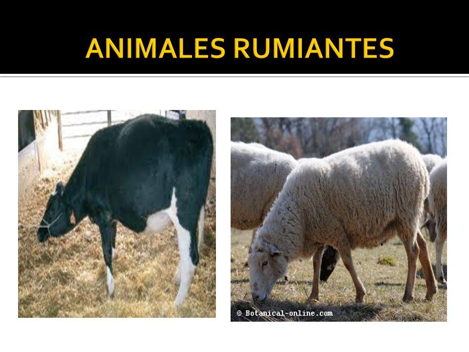 CONCEPTO : ES UN ANIMAL QUE DIGIERE ALIIMENTOS EN SDOS ETAPAS : PRIMERO LO CONSUMEN Y LUEGO REALIZA LA RUMIA..