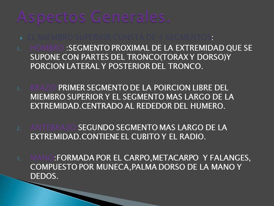 EL MIEMBRO SUPERIOR CONSTA DE 4 SEGMENTOS: 1. HOMBRO :SEGMENTO PROXIMAL DE LA EXTREMIDAD QUE SE SUPONE CON PARTES DEL TRONCO(TORAX Y DORSO)Y PORCION L