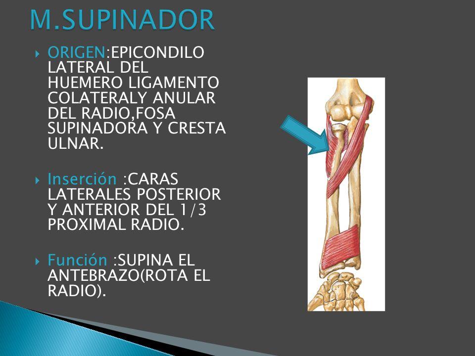 ORIGEN:EPICONDILO LATERAL DEL HUEMERO LIGAMENTO COLATERALY ANULAR DEL RADIO,FOSA SUPINADORA Y CRESTA ULNAR. Inserción :CARAS LATERALES POSTERIOR Y ANT