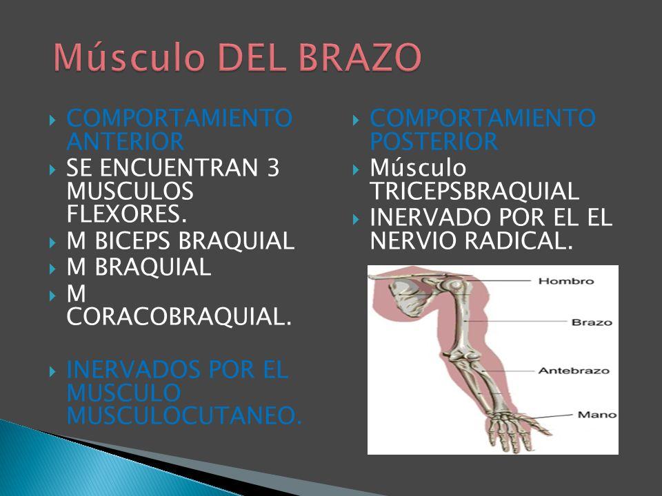 COMPORTAMIENTO ANTERIOR SE ENCUENTRAN 3 MUSCULOS FLEXORES. M BICEPS BRAQUIAL M BRAQUIAL M CORACOBRAQUIAL. INERVADOS POR EL MUSCULO MUSCULOCUTANEO. COM