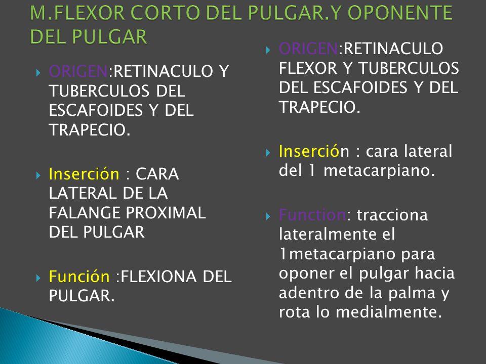 ORIGEN:RETINACULO Y TUBERCULOS DEL ESCAFOIDES Y DEL TRAPECIO. Inserción : CARA LATERAL DE LA FALANGE PROXIMAL DEL PULGAR Función :FLEXIONA DEL PULGAR.