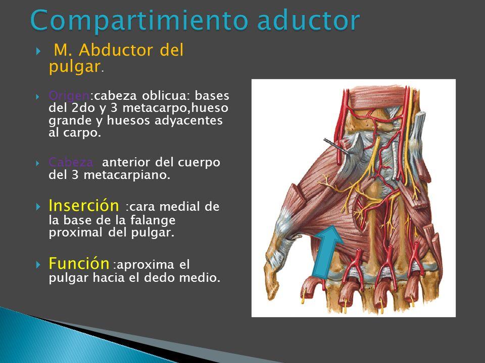 M. Abductor del pulgar. Origen:cabeza oblicua: bases del 2do y 3 metacarpo,hueso grande y huesos adyacentes al carpo. Cabeza anterior del cuerpo del 3