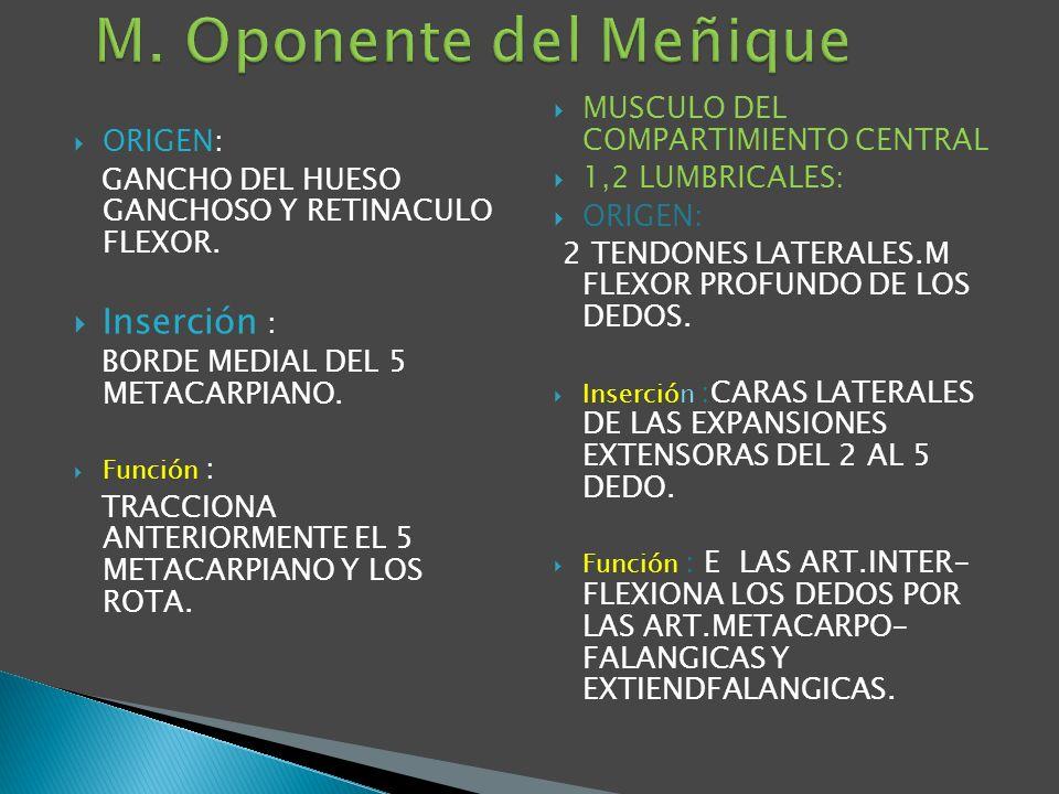 ORIGEN: GANCHO DEL HUESO GANCHOSO Y RETINACULO FLEXOR. Inserción : BORDE MEDIAL DEL 5 METACARPIANO. Función : TRACCIONA ANTERIORMENTE EL 5 METACARPIAN