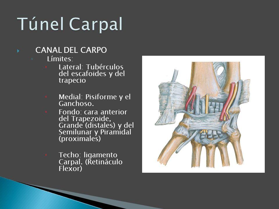 CANAL DEL CARPO Límites: Lateral: Tubérculos del escafoides y del trapecio Medial: Pisiforme y el Ganchoso. Fondo: cara anterior del Trapezoide, Grand