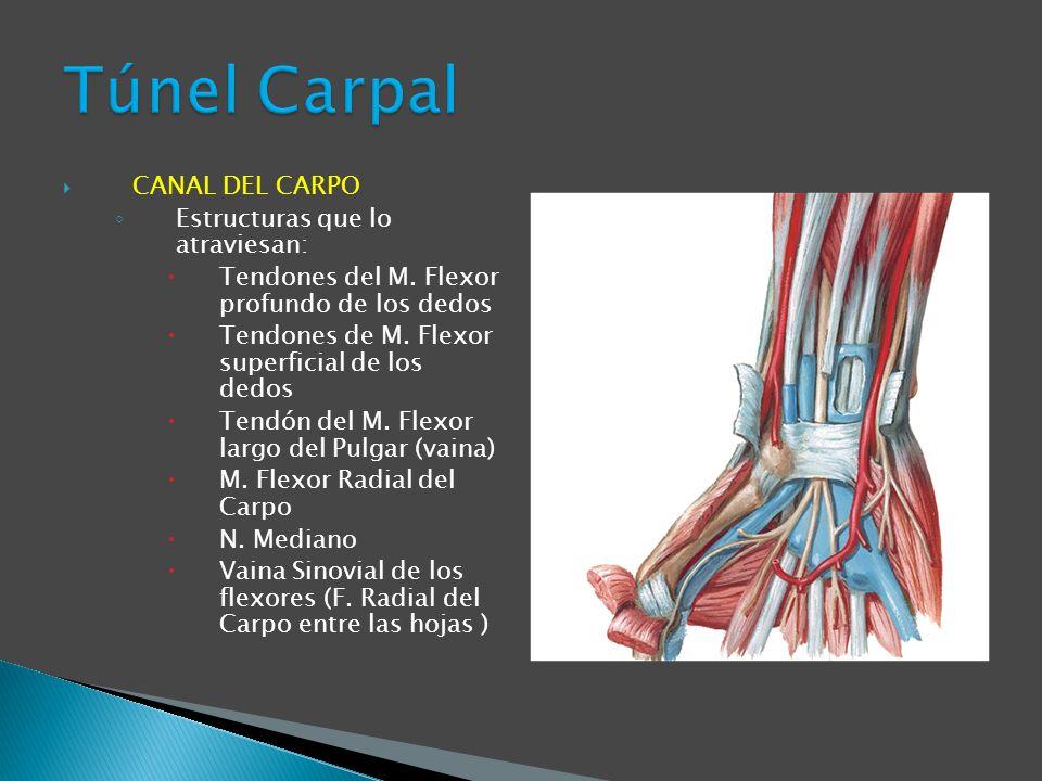 CANAL DEL CARPO Estructuras que lo atraviesan: Tendones del M. Flexor profundo de los dedos Tendones de M. Flexor superficial de los dedos Tendón del