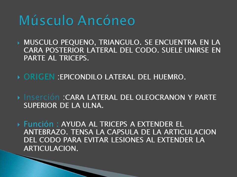 ORIGEN : EPICONDILO LATERAL DEL HUMERO.Inserción :BASE DEL 3 METACARPIANO.
