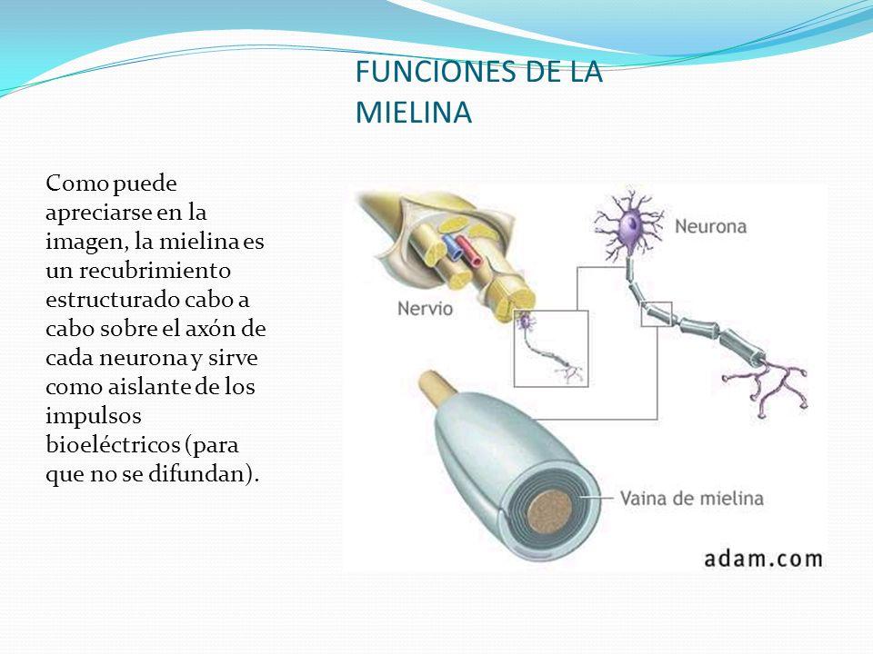 FUNCIONES DE LA MIELINA Como puede apreciarse en la imagen, la mielina es un recubrimiento estructurado cabo a cabo sobre el axón de cada neurona y si