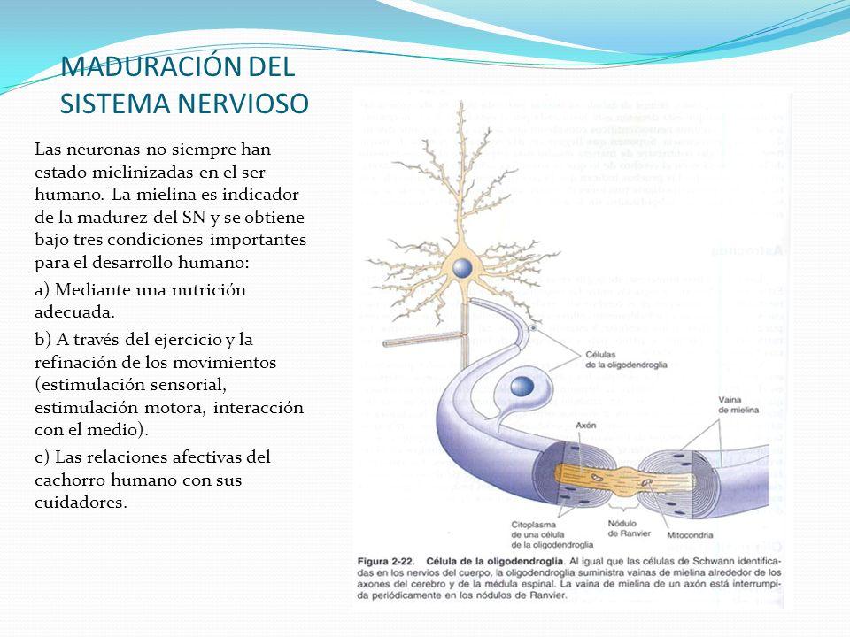MADURACIÓN DEL SISTEMA NERVIOSO Las neuronas no siempre han estado mielinizadas en el ser humano. La mielina es indicador de la madurez del SN y se ob