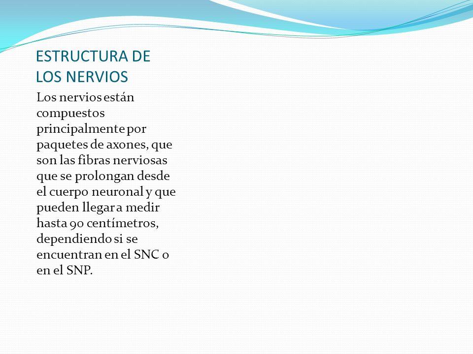 ESTRUCTURA DE LOS NERVIOS Los nervios están compuestos principalmente por paquetes de axones, que son las fibras nerviosas que se prolongan desde el c
