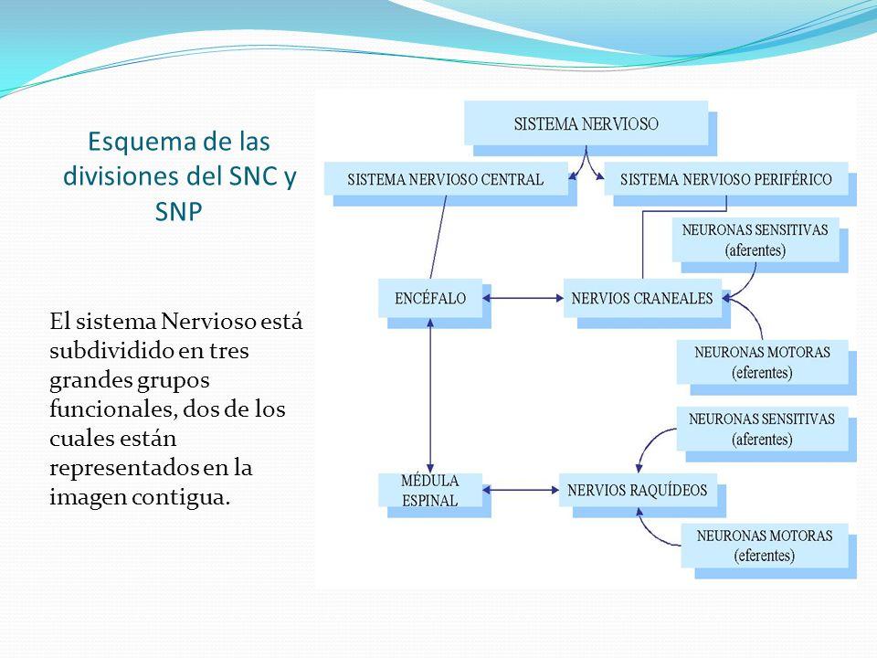 Esquema de las divisiones del SNC y SNP El sistema Nervioso está subdividido en tres grandes grupos funcionales, dos de los cuales están representados