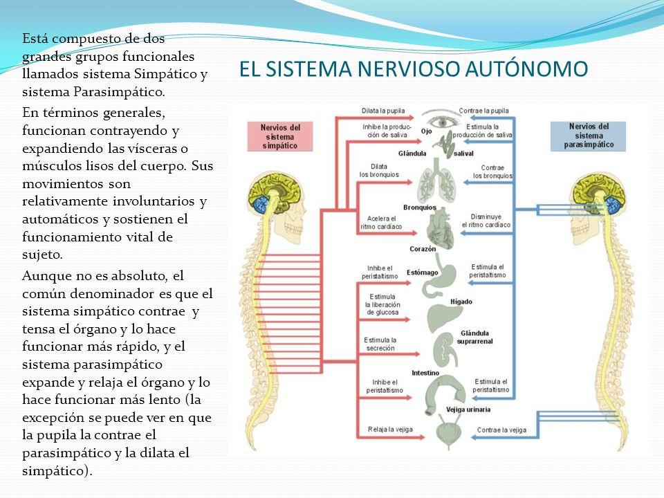 EL SISTEMA NERVIOSO AUTÓNOMO Está compuesto de dos grandes grupos funcionales llamados sistema Simpático y sistema Parasimpático. En términos generale