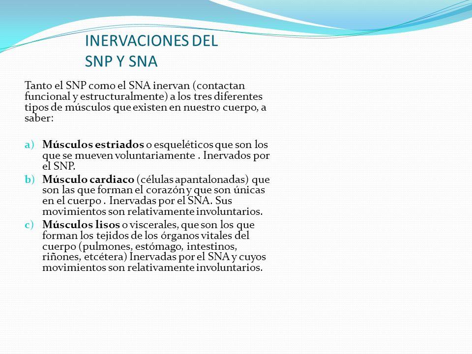 INERVACIONES DEL SNP Y SNA Tanto el SNP como el SNA inervan (contactan funcional y estructuralmente) a los tres diferentes tipos de músculos que exist