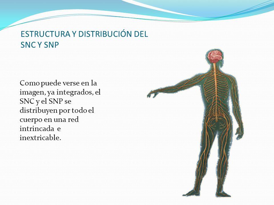 ESTRUCTURA Y DISTRIBUCIÓN DEL SNC Y SNP Como puede verse en la imagen, ya integrados, el SNC y el SNP se distribuyen por todo el cuerpo en una red int