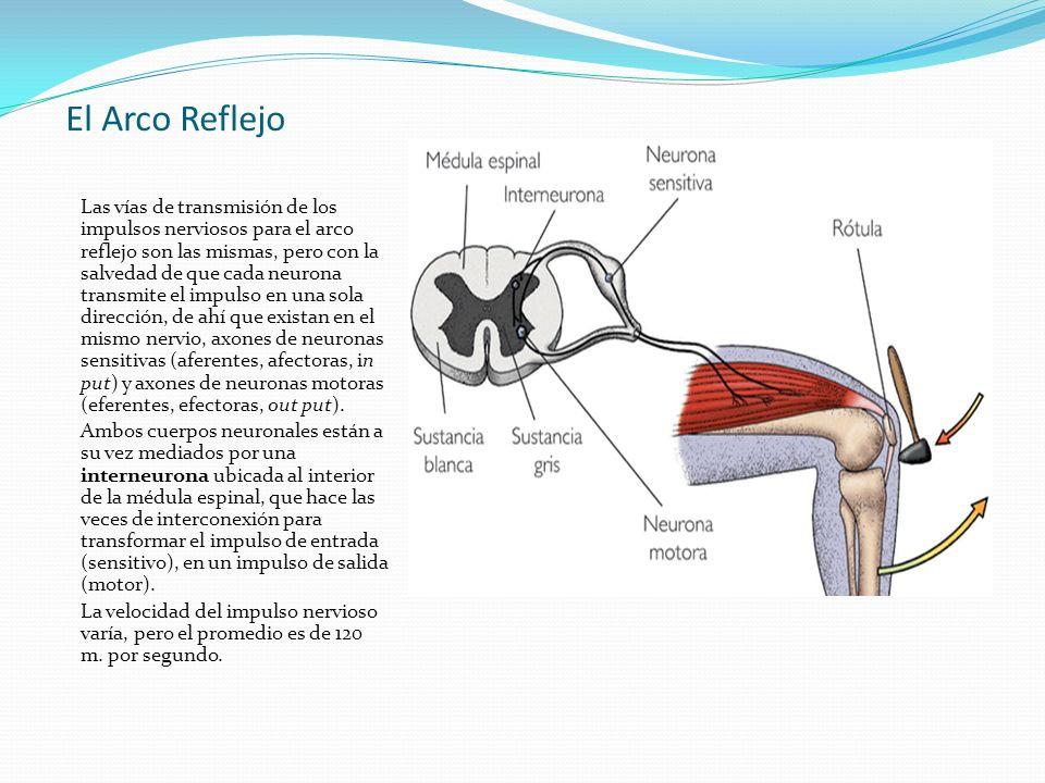 El Arco Reflejo Las vías de transmisión de los impulsos nerviosos para el arco reflejo son las mismas, pero con la salvedad de que cada neurona transm