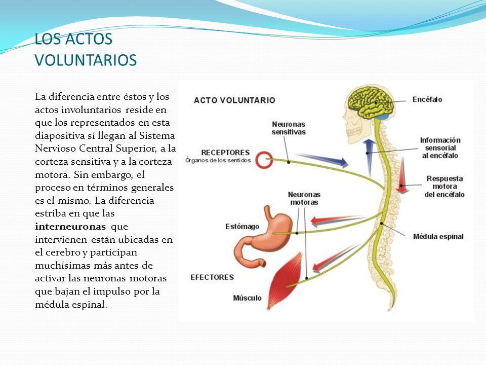 LOS ACTOS VOLUNTARIOS La diferencia entre éstos y los actos involuntarios reside en que los representados en esta diapositiva sí llegan al Sistema Ner