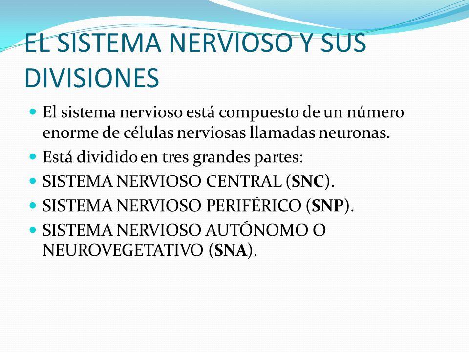EL SISTEMA NERVIOSO Y SUS DIVISIONES El sistema nervioso está compuesto de un número enorme de células nerviosas llamadas neuronas. Está dividido en t