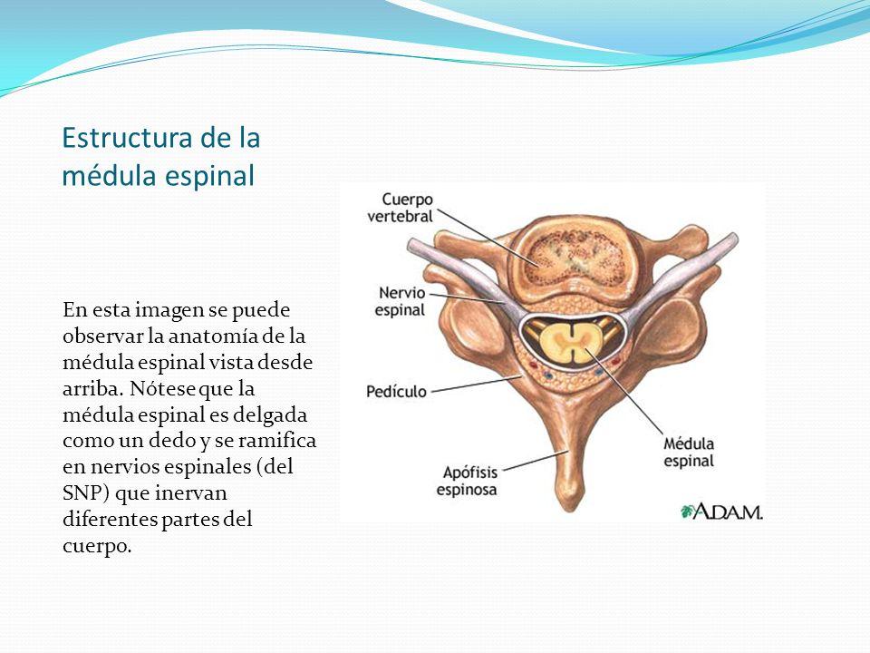 Estructura de la médula espinal En esta imagen se puede observar la anatomía de la médula espinal vista desde arriba. Nótese que la médula espinal es
