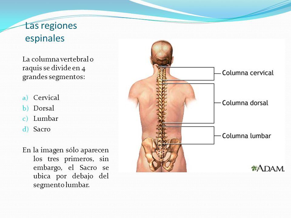 Las regiones espinales La columna vertebral o raquis se divide en 4 grandes segmentos: a) Cervical b) Dorsal c) Lumbar d) Sacro En la imagen sólo apar