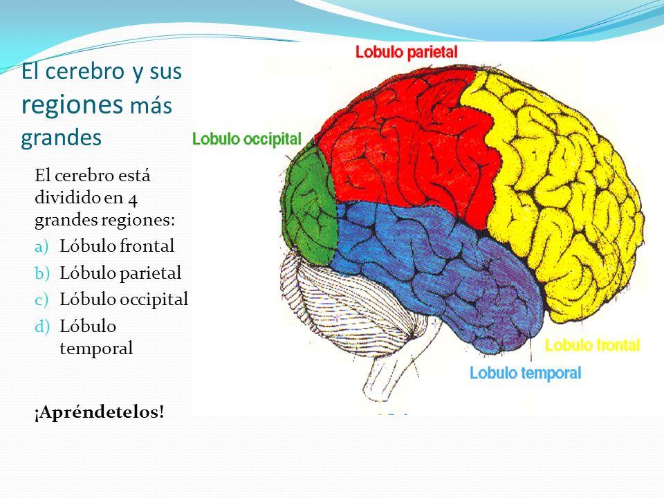 El cerebro y sus regiones más grandes El cerebro está dividido en 4 grandes regiones: a) Lóbulo frontal b) Lóbulo parietal c) Lóbulo occipital d) Lóbu