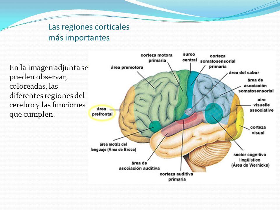 Las regiones corticales más importantes En la imagen adjunta se pueden observar, coloreadas, las diferentes regiones del cerebro y las funciones que c