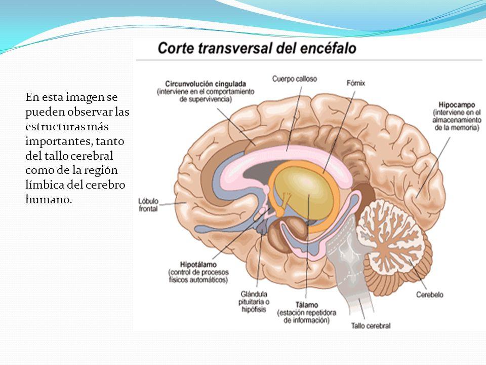 En esta imagen se pueden observar las estructuras más importantes, tanto del tallo cerebral como de la región límbica del cerebro humano.