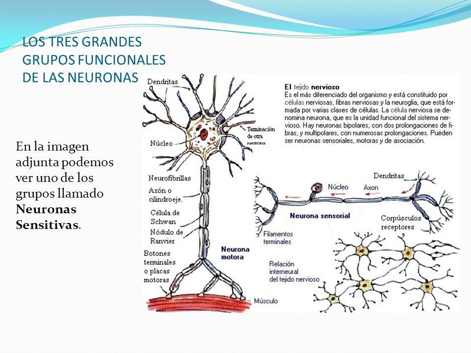 LOS TRES GRANDES GRUPOS FUNCIONALES DE LAS NEURONAS En la imagen adjunta podemos ver uno de los grupos llamado Neuronas Sensitivas.