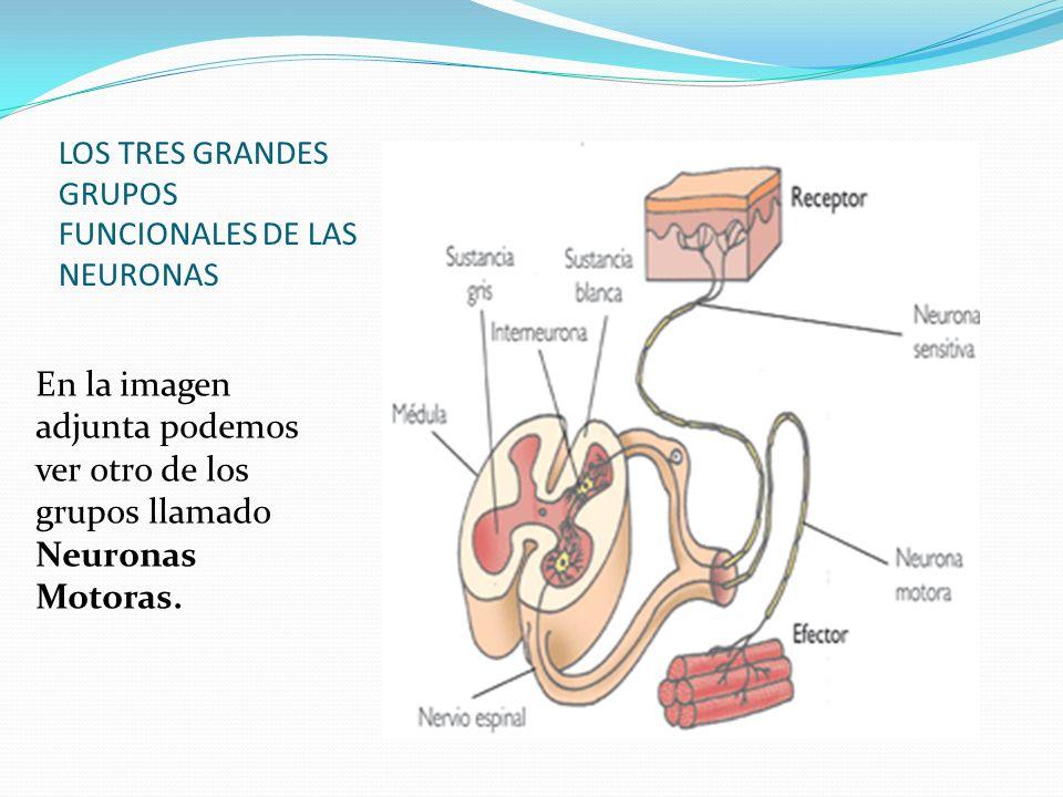 LOS TRES GRANDES GRUPOS FUNCIONALES DE LAS NEURONAS En la imagen adjunta podemos ver otro de los grupos llamado Neuronas Motoras.