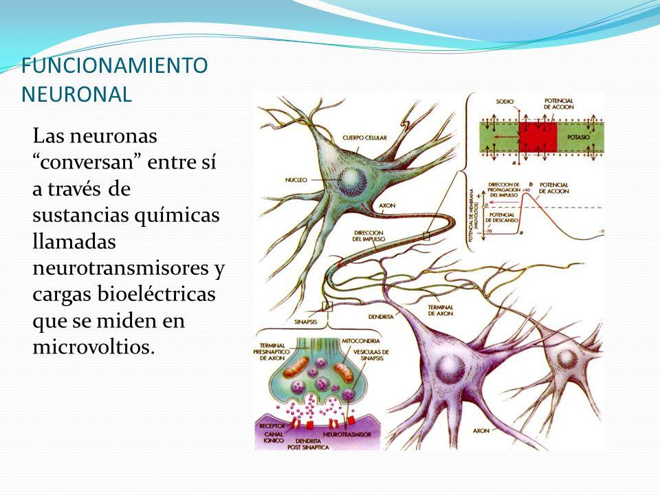 FUNCIONAMIENTO NEURONAL Las neuronas conversan entre sí a través de sustancias químicas llamadas neurotransmisores y cargas bioeléctricas que se miden