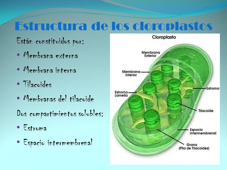 Estructura de los cloroplastos Están constituidos por: Membrana externa Membrana interna Tilacoides Membranas del tilacoide Dos compartimientos solubl