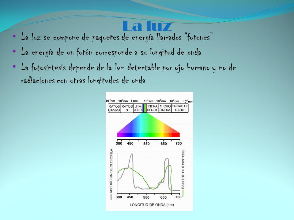 La luz La luz se compone de paquetes de energía llamados fotones La energía de un fotón corresponde a su longitud de onda La fotosíntesis depende de l