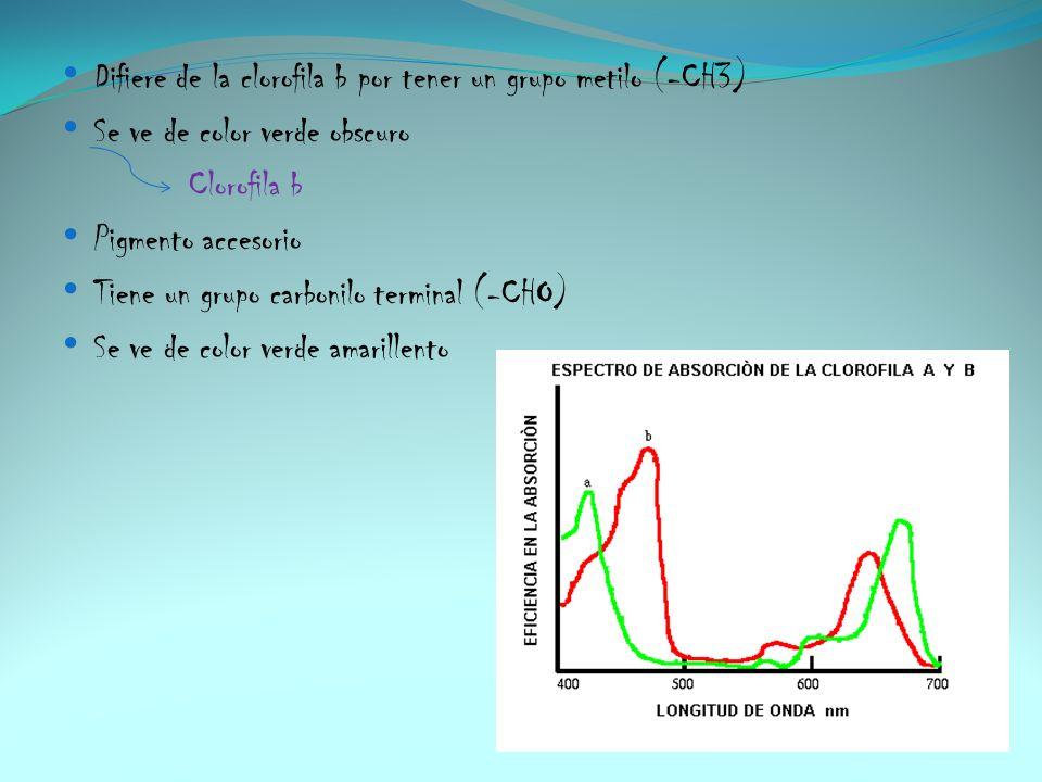 Difiere de la clorofila b por tener un grupo metilo (-CH3) Se ve de color verde obscuro Clorofila b Pigmento accesorio Tiene un grupo carbonilo termin