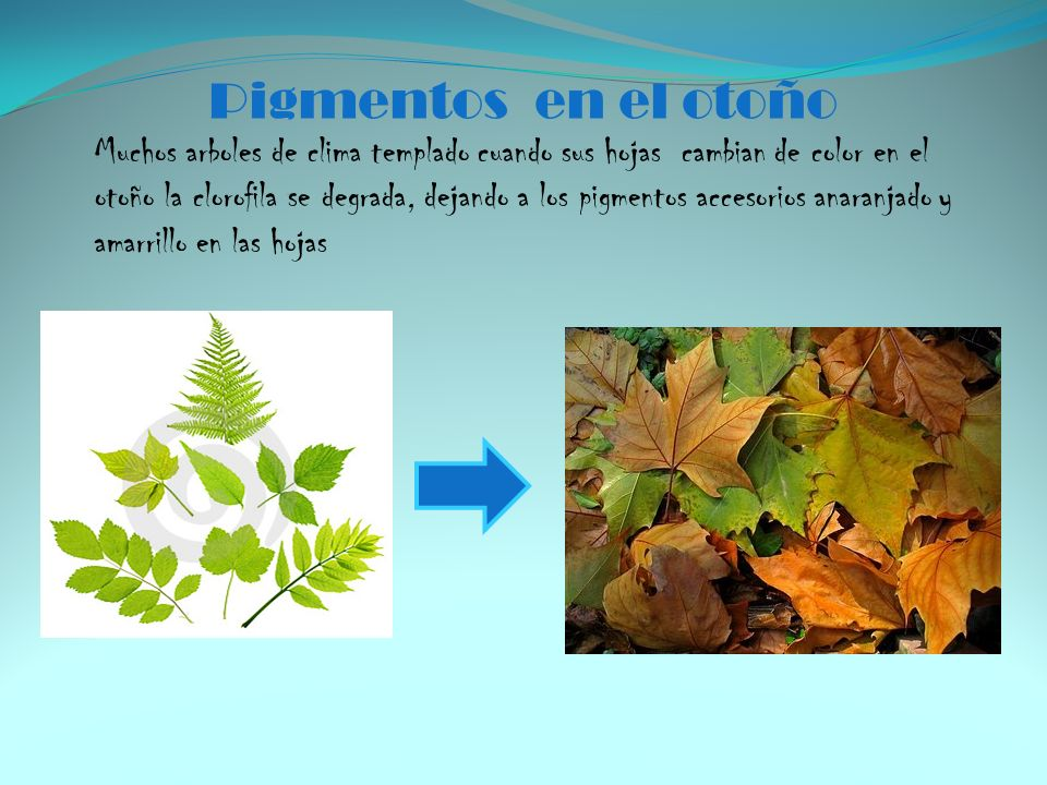 Pigmentos en el otoño Muchos arboles de clima templado cuando sus hojas cambian de color en el otoño la clorofila se degrada, dejando a los pigmentos